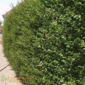 Langsam Wachsende Hecke : ligustrum ovalifolium heckenpflanze liguster schnell ~ Michelbontemps.com Haus und Dekorationen