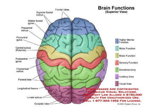 brain functional areas recherche google neuroscience