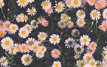 Desktop Computer Wallpapers Daisy Backgrounds Wallpapertag Resolution