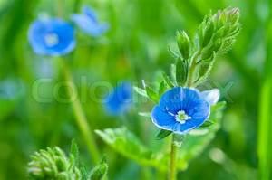 Blumen In Der Box : kleine blaue blumen wachsen auf der wiese stockfoto colourbox ~ Orissabook.com Haus und Dekorationen