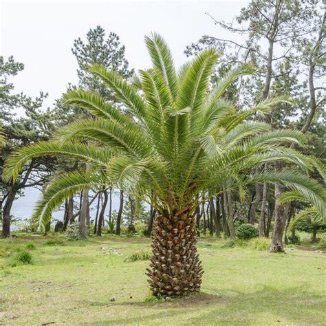 canariensis en pot palmier canariensis plantes et jardins