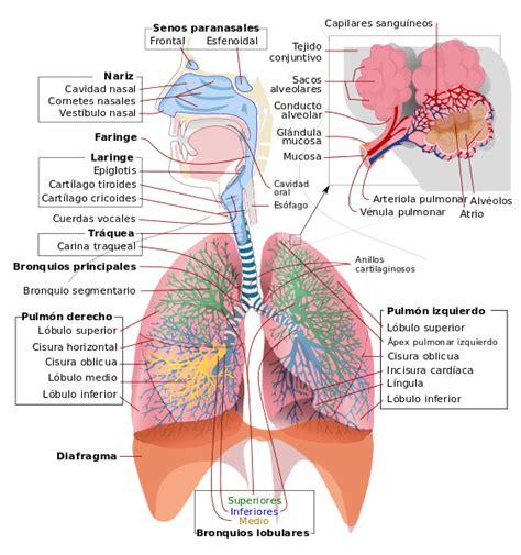 respiraci 243 n pulmonar caracter 237 sticas proceso fases lifeder