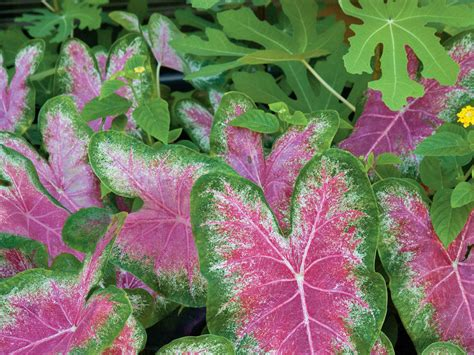kitchen tv ideas how to grow caladiums southern living