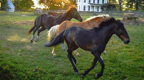 horses horse maryland running heritage