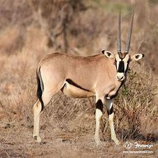 #didyouknow? The Arabian Oryx Is The National Animal Of #jordon, #uae & #qatar  Did You Know