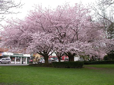 blossoming cherry trees learning english with michelle vancouver s cherry blossom festival