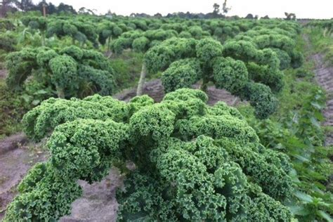 Kale Vegetable Picture Used In