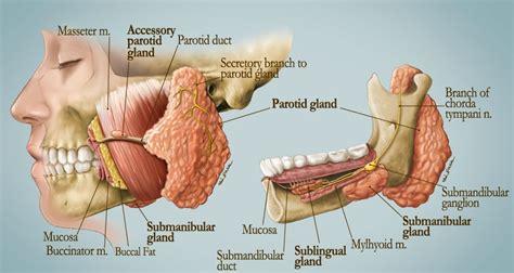 salivary glands art  applied  medicine