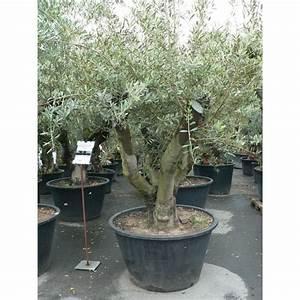 Gros Pot Pour Olivier : te d 39 olivier c p e gros sujet olea europaeae ~ Melissatoandfro.com Idées de Décoration