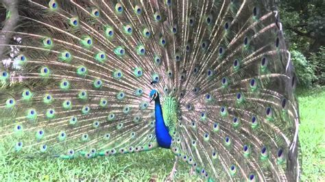 peacock opening his feathers youtube