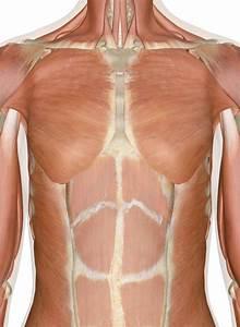 Pectoralis Major Muscle