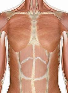 Diagram Of Torso Pain : pectoralis major muscle muscles of upper limb upper leg ~ A.2002-acura-tl-radio.info Haus und Dekorationen