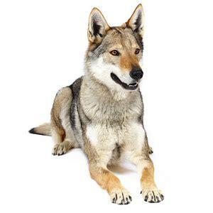 elevages de chien loup tch 233 coslovaque trouvez et achetez votre chiot de race eleveurs
