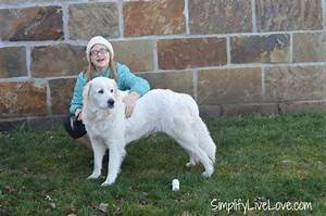 5 useful tips for grooming great pyrenees puppies With great pyrenees dog house plans