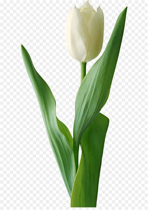 white lily flower png