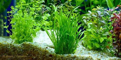 aquarium boden reinigen ratgeber aquarium boden reinigen aquarienpflanzenshop de