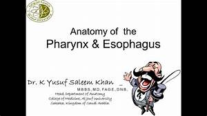 Anatomy Of Pharynx  U0026 Esophagus Complete