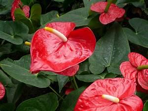 Plante Tropicale D Intérieur : anthurium rouge anthurium andreanum entretien rempotage arrosage ~ Melissatoandfro.com Idées de Décoration