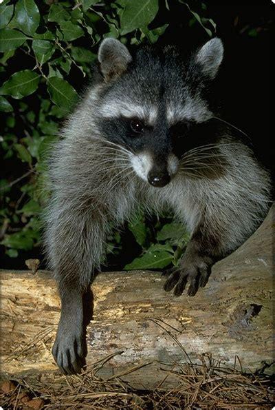 raccoon roundworm vermont fish wildlife department