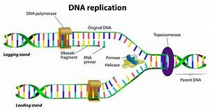 Dna Replication In Brief
