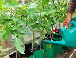 Tomaten Selber Anbauen : tomaten gie en so kalkulieren sie die richtige menge wasser ~ Orissabook.com Haus und Dekorationen