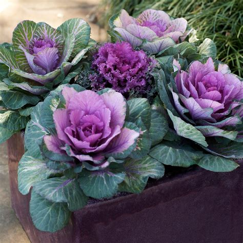 decorative cabbage and kale kale in containers sunset