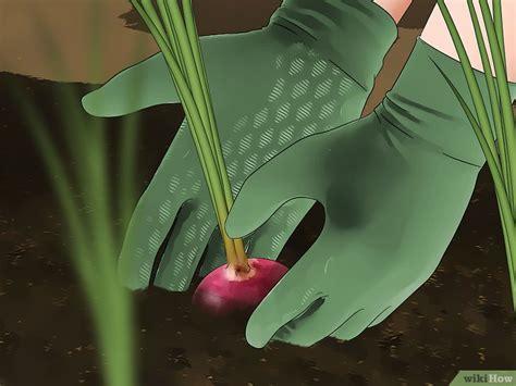 Come Piantare le Cipolle: 16 Passaggi (Illustrato)