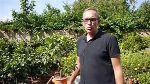 Aprikosenbaum Selber Ziehen : zitronenbaum pflegen youtube ~ A.2002-acura-tl-radio.info Haus und Dekorationen