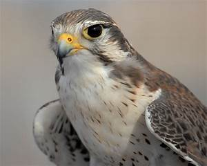 Peregrine Falcon, the mascot for the U.S. Air Force ...