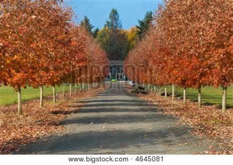 trees suitable  drive ways avenues  paths acer