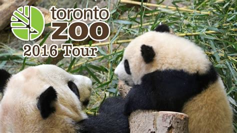 zoo toronto panda cubs giant tour