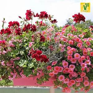 Blumenkästen Bepflanzen Ideen : ein rosa roter traum im balkonkasten scaevola 39 abanico pink 39 stacheldrahtpflanze 39 silver ~ Eleganceandgraceweddings.com Haus und Dekorationen