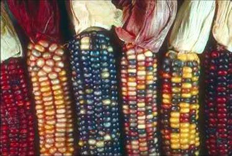 corn aint   bad  arid land homesteaders league