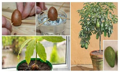 faire pousser interieur comment faire pousser votre propre avocatier dans un petit pot de jardin interieur