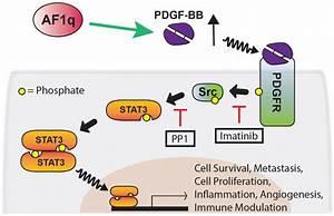 Proposed network for AF1q-induced PDGF-B/PFGFR/Src/STAT3 ...