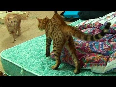 Bengal Kitten Introduction To Adult Cats  Part 1 Youtube