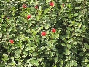 Taille De L Hibiscus : hibiscus taill en haie barcelone parc g ell les ~ Melissatoandfro.com Idées de Décoration