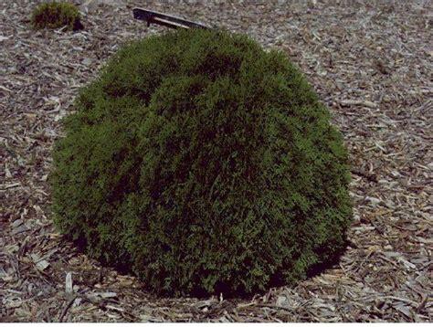 low growing bushes evergreen shrubs