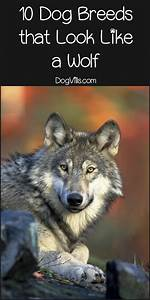 10 Dog Breeds That Look Like a Wolf - DogVills