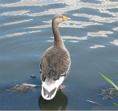 Duck Density Ducks Into Way
