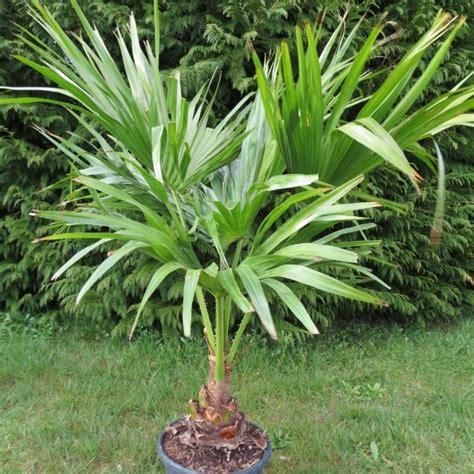 palmier washingtonia en pot 28 images washingtonia robusta palmier du mexique palmier de