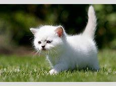 Britisch Kurzhaar Kitten Tipps und Fotos