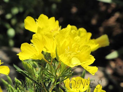 yellow perennial flowers for sun evening primrose oenothera x fruticosa cold crick perennials