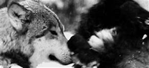 gif love snow Black and White wolf wolves falling snow ...
