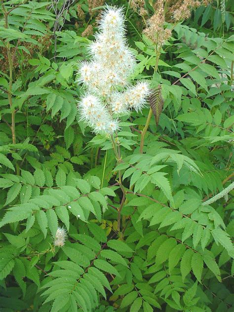 what of plant is this sorbaria sorbifolia false spiraea go botany