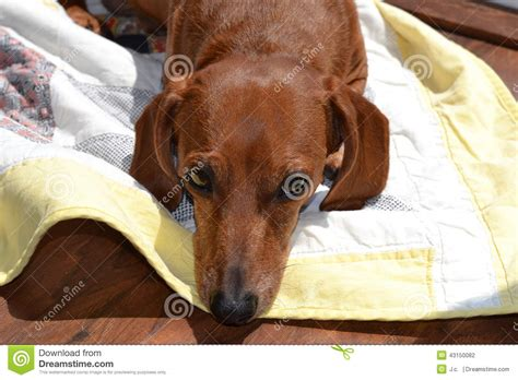 red dachshund stock photo image  domestic relaxing