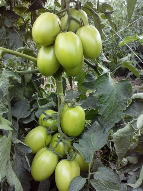 super red tomato indeterminate agri store hybrids