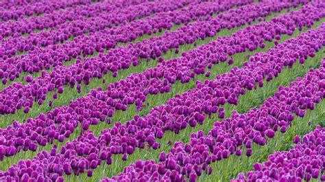 1920x1080 beautiful tulips garden beautiful purple tulips flower garden wallpape 6527 wallpaper high resolution wallarthd com