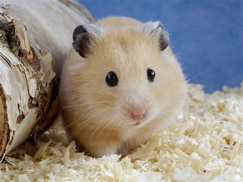 types of hamsters hamster the biggest animals kingdom