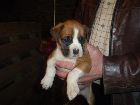 cute dogs boxer dog